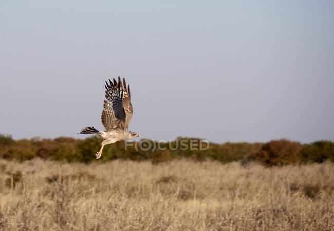 Орлик летить над саваною, національний парк Етоша, Намібія. — стокове фото