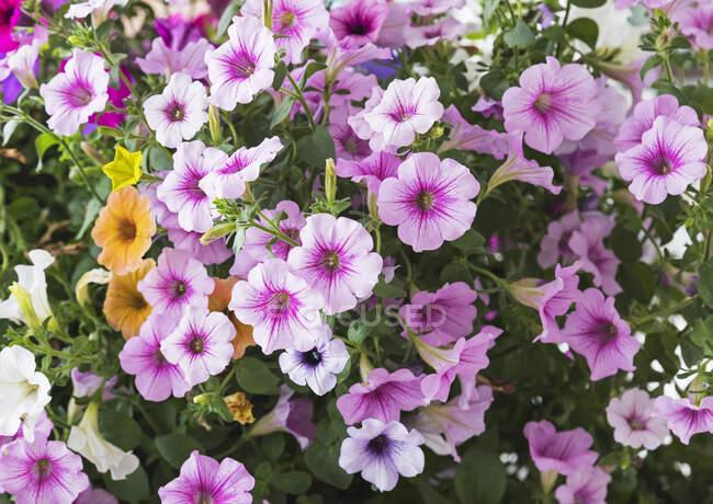 Квіти рожевого цвітіння петуній. — стокове фото