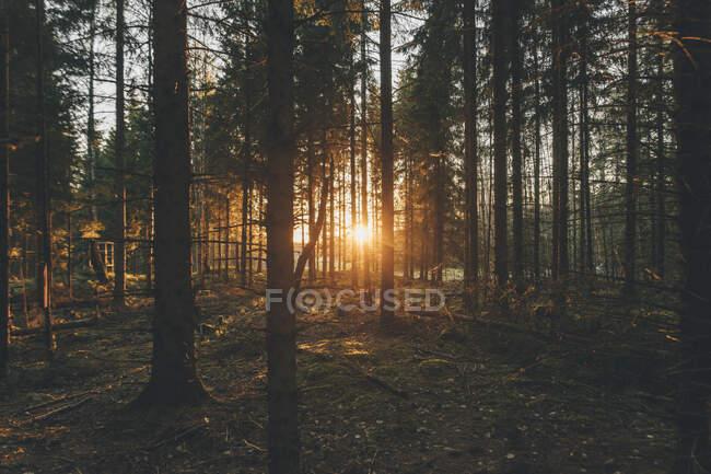 Tramonto nel bosco di Sodermanland, Nykoping, Svezia — Foto stock