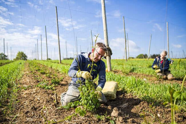 Чоловічі та жіночі фермери саджають хоп у Халлертау (Баварія, Німеччина). — стокове фото