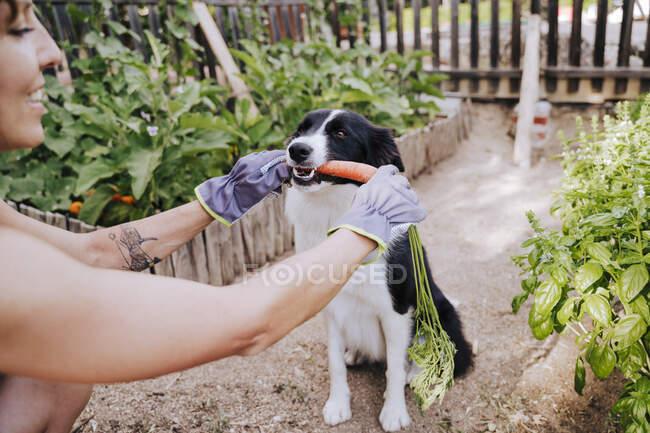 Серед дорослої жінки, яка годує моркву до прикордонної коллі в городі овочів. — стокове фото