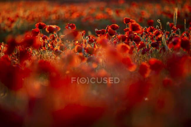 Amapolas rojas creciendo en el campo - foto de stock