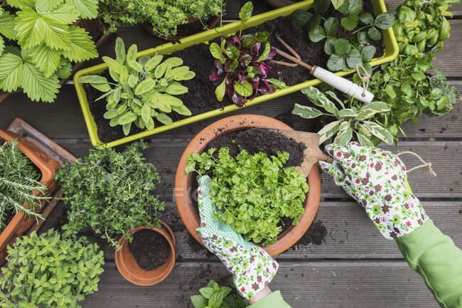 Manos de mujer plantando diversas hierbas y verduras culinarias - foto de stock