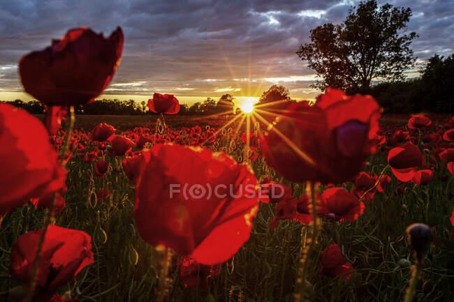 Червоні маки ростуть у полі на заході сонця. — стокове фото