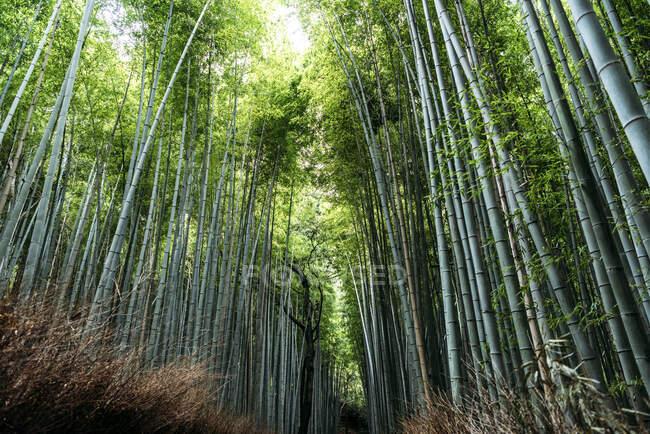 Бамбуковый лес в Киото — стоковое фото
