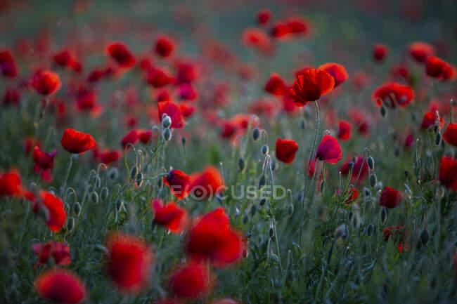 Красный мак растет в поле — стоковое фото