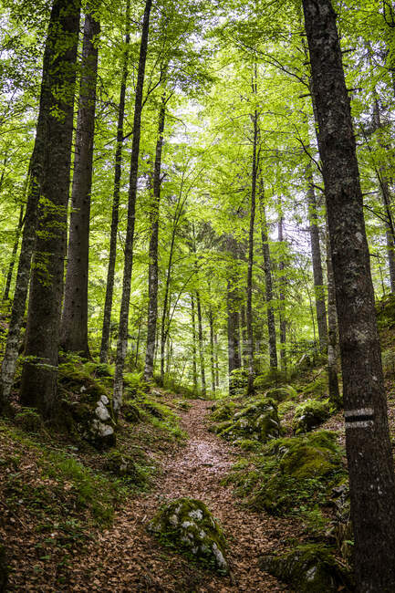 Italy, Province of Udine, Tarvisio, Footpath in green springtime forest in Italian Alps — Stock Photo