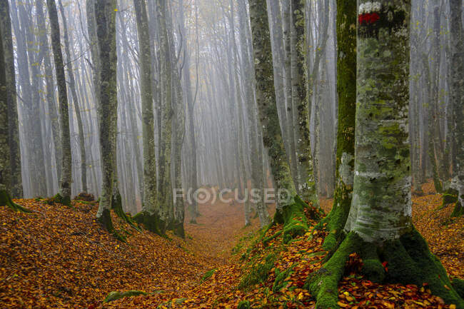 Bare trees in woodland during foggy weather — Stock Photo