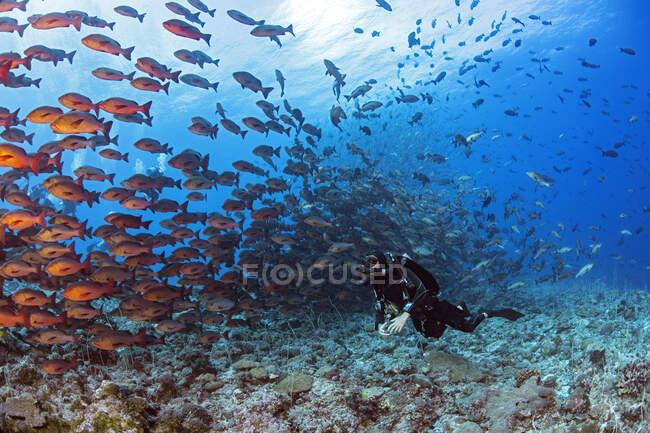 Palau, Shark City, Dover con desove de pargo rojo - foto de stock
