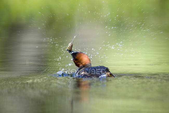Escocia, Pequeño Grebe con presa - foto de stock
