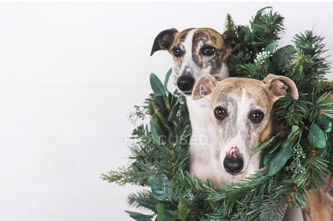 Primer plano de perros con corona verde sobre fondo blanco - foto de stock