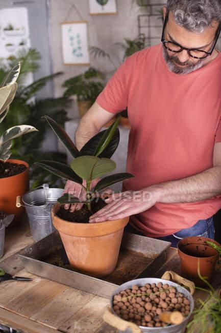 Homem maduro barbudo plantando figo de borracha em panela no viveiro de plantas — Fotografia de Stock