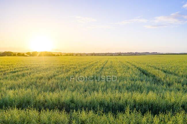 Grand champ d'avoine verte (Avena Sativa) au coucher du soleil d'été — Photo de stock