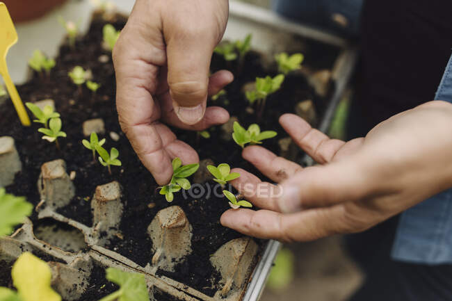 Close-up de homem examinando mudas em uma bandeja de sementes — Fotografia de Stock