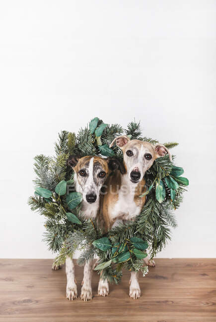 Corona de Navidad verde alrededor de los perros en el suelo de madera sobre fondo blanco - foto de stock