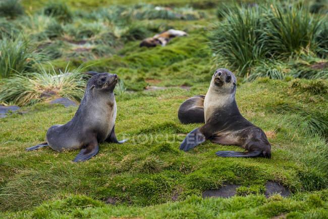 Due foche da pelliccia antartiche (Arctocephalus gazella) sedute sull'erba — Foto stock