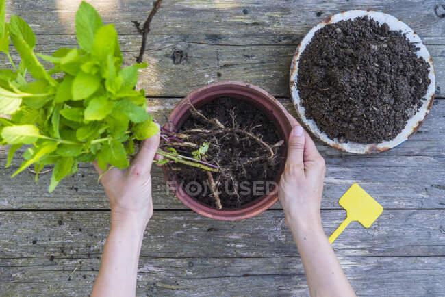 Manos de mujer replantando menta - foto de stock