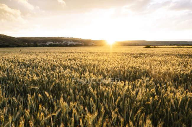 Plan idyllique du champ de blé contre le ciel au coucher du soleil — Photo de stock