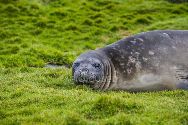 Effigie della foca elefante australe (Mirounga leonina) sdraiata sull'erba — Foto stock