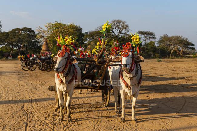 Myanmar, Regione Mandalay, Bagan, Buoi imbrigliati in piedi all'aperto con carrello decorato — Foto stock
