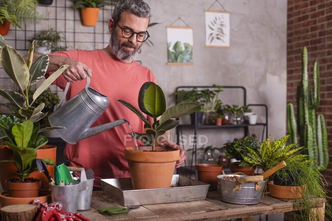 Bearded mature man watering rubber fig potted plant at home — Stock Photo
