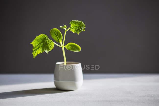 Planta verde creciendo en maceta en la mesa - foto de stock