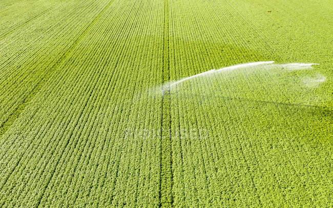 Aerial view of sprinkler watering vast potato field in summer — Stock Photo