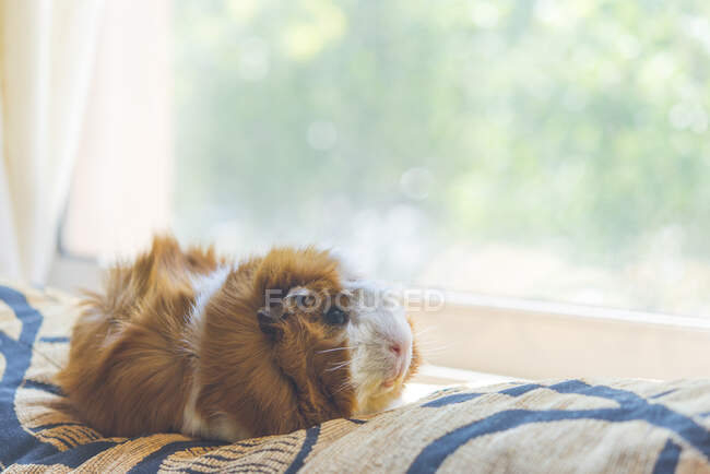 Primer plano de lindo conejillo de indias relajándose en la cama por la ventana en casa - foto de stock