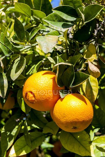 Спелые апельсины, растущие на апельсине — стоковое фото