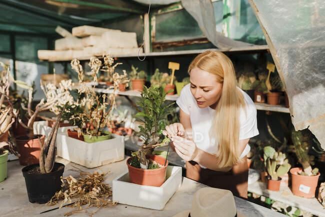 Жінка - власник з білявим волоссям обстежує рослину на столі в оранжереї. — стокове фото