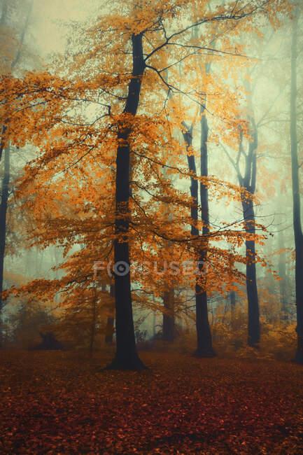 Haya en bosque nublado de otoño al amanecer - foto de stock
