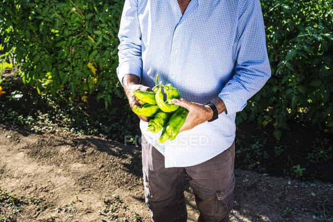 Старший чоловік тримає перець, стоячи навпроти рослин у городі. — стокове фото