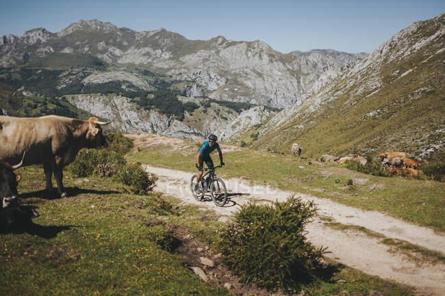 Ciclista di sesso maschile in mountain bike con la mucca, Parco Nazionale Picos de Europa, Asturie, Spagna — Foto stock