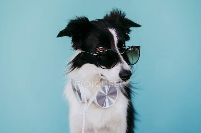 Border Collie dog with headphones and sunglasses looking away against turquoise background — стоковое фото