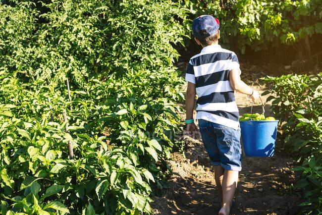 Хлопець, що носив відро з перцем під час прогулянки серед рослин у городі овочів. — стокове фото