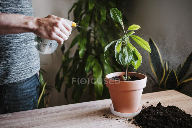 Hombre regando la planta de aguacate con botella de spray mientras está de pie en casa - foto de stock