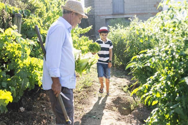 Дідусь і онук збирають овочі в городі. — стокове фото