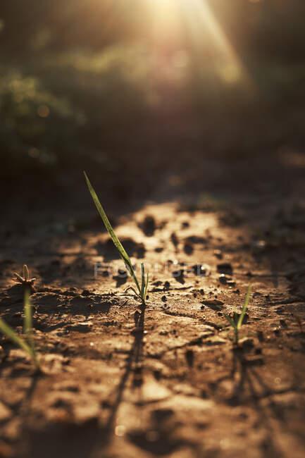 Planta que crece en suelo seco agrietado - foto de stock
