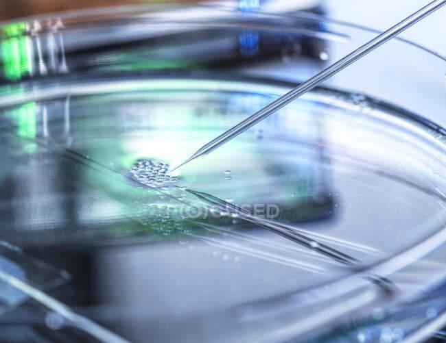 Investigación científica de la transferencia nuclear que se está llevando a cabo en varias células madre embrionarias utilizadas en la clonación y modificación genética - foto de stock