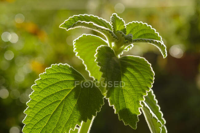 Close-up of Plectranthus species in backyard — Stock Photo