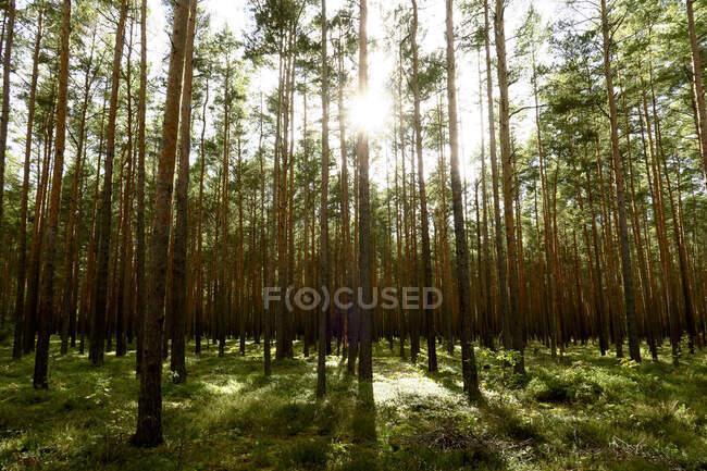 Sunlight illuminating tall forest trees in early autumn — Stock Photo