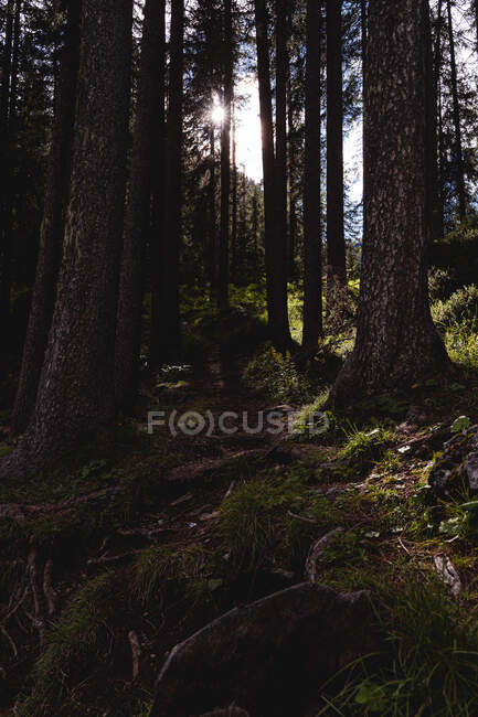 Forest in Dolomites at sunset — Stock Photo