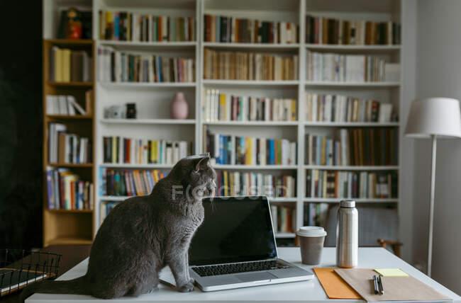 Домашній кіт сидить на ноутбуці на столі вдома. — стокове фото