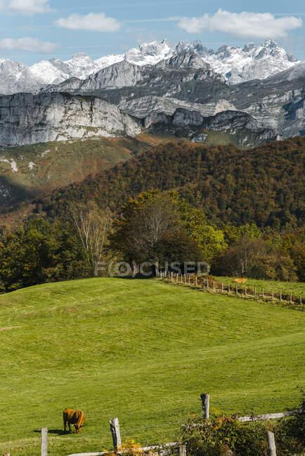 Singola mucca al pascolo nei pascoli alpini durante l'autunno — Foto stock