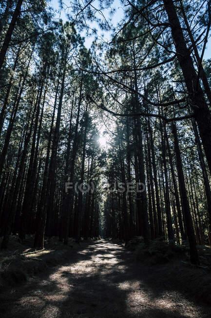 Шлях, покритий деревами в національному парку Ель - Тейде (Тенерифе, Іспанія). — Stock Photo