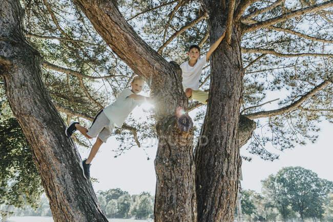 Братья забираются на сосну в общественном парке в солнечный день — стоковое фото