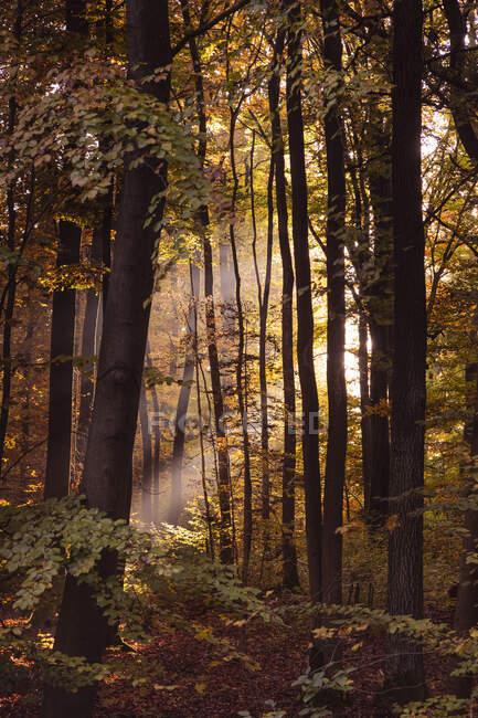 Luce del sole che scorre attraverso gli alberi nella foresta durante l'autunno, Baviera, Europa, Germania — Foto stock