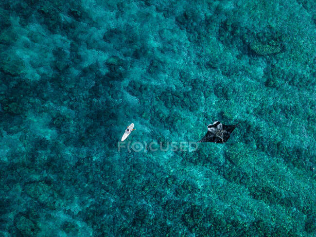 Aerial view of manta ray swimming beside lone surfer — Stock Photo