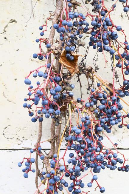 Wild grapes in winter — Stock Photo