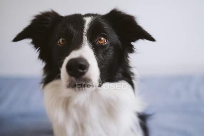 Собака сидит на кровати дома — стоковое фото